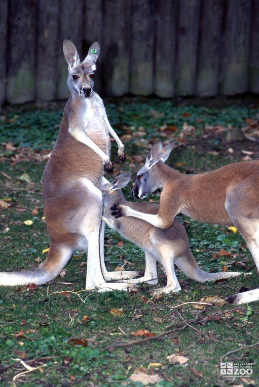 Kangaroos, Red Mom With Feeding Joey