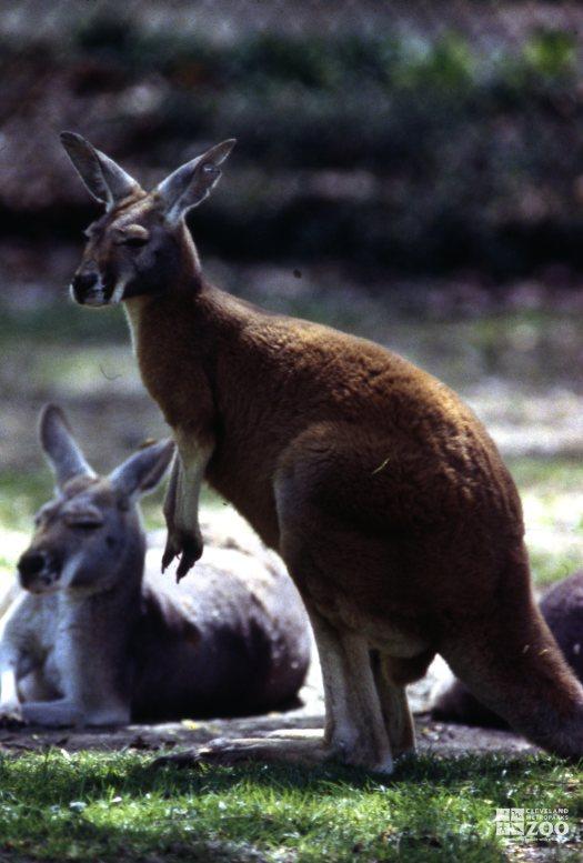 Kangaroo, Red Up Close