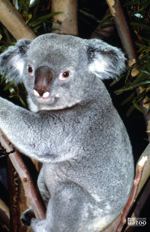 Koala, Queensland Up Close Of Face