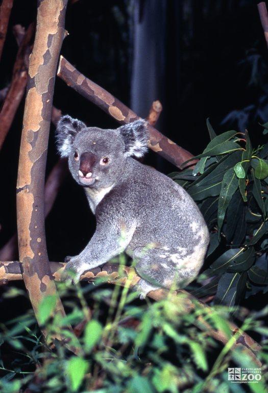 Koala, Queensland Sitting On A Branch Looking left