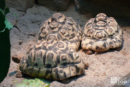 Leopard Tortoises in a Group