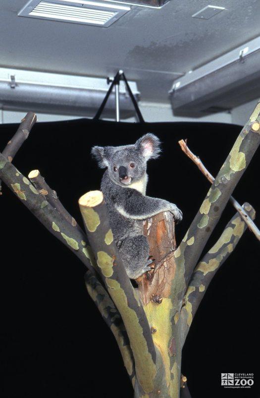 Koala, Queensland Sitting In The Y 2