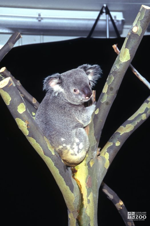Koala, Queensland Up Close Sitting In The Y