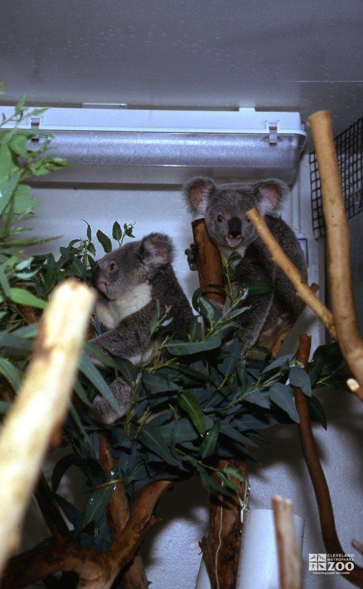 Koalas, Queensland Sitting Among Eucalyptus