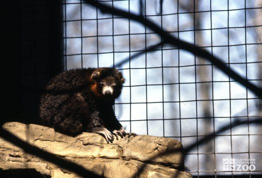 Mongoose Lemur Napping On Rock