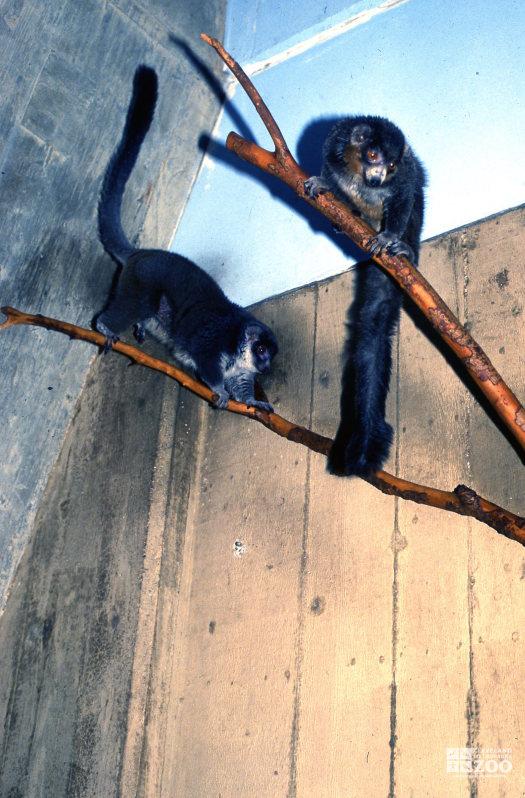 Mongoose Lemurs Looking Down 2
