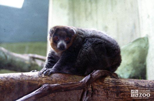 Mongoose Lemur Up Close 2