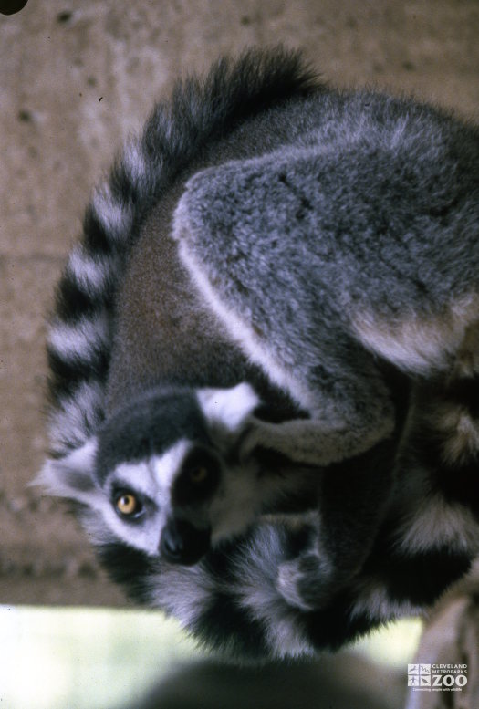 Ring-Tailed Lemur Up Close 2