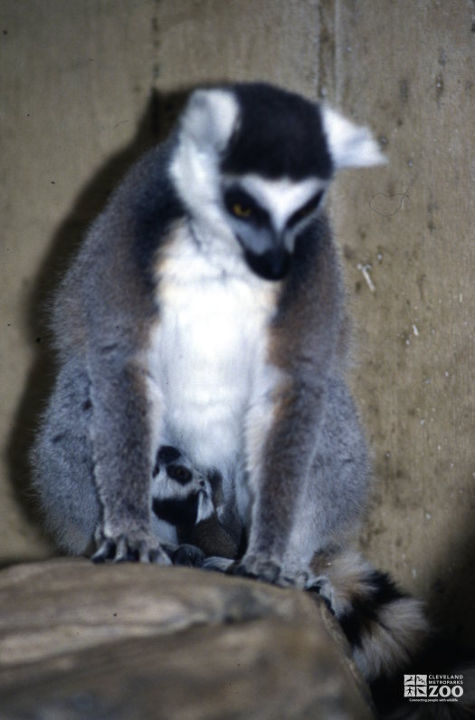 Ring-Tailed Lemur Mom and Baby