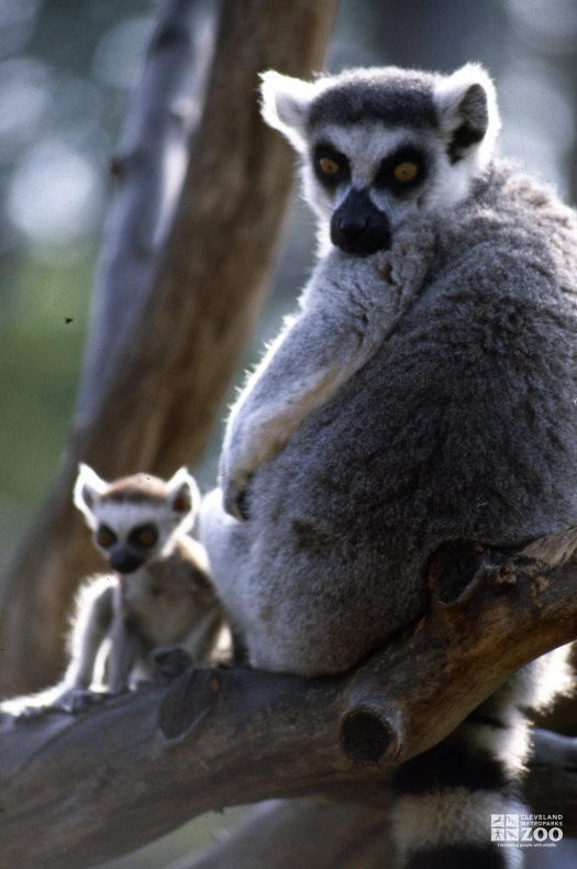 Ring-Tailed Lemur Mom and Baby 2