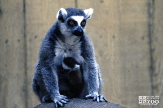 Ring-Tailed Lemur Mom Protecting Baby
