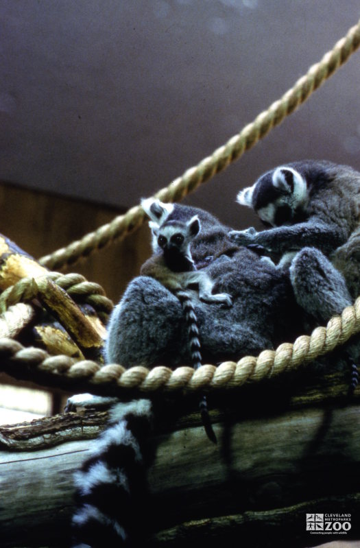 Ring-Tailed Lemurs Pair With Baby and Grooming