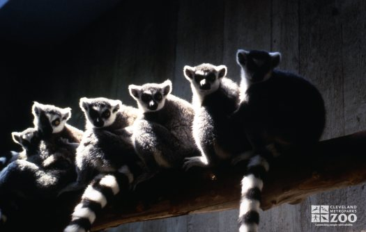 Ring-Tailed Lemurs Family Photo