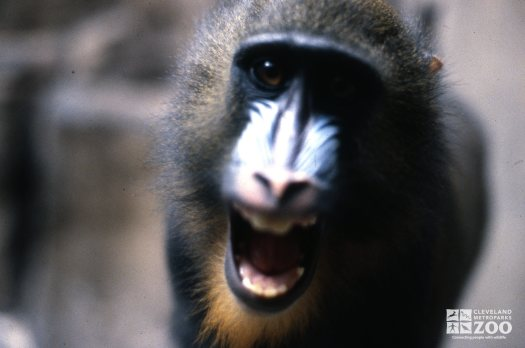Mandrill, Close Up Of Face Showing Teeth