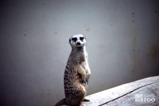 Meerkat, Upright On Log