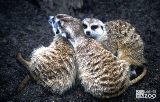 Meerkat, Trio Showing Affection