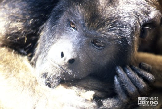 Monkey, Black Howler Up Close Of Face