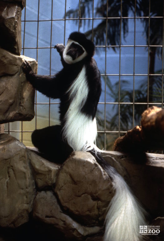 Colobus Monkey, Sitting On Rock