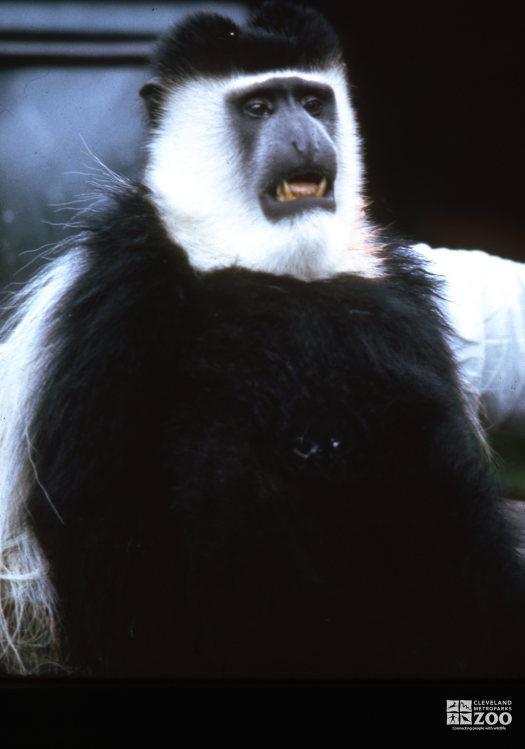 Colobus Monkey, Up Close Showing Teeth