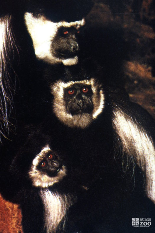 Colobus Monkey, Couple With Baby
