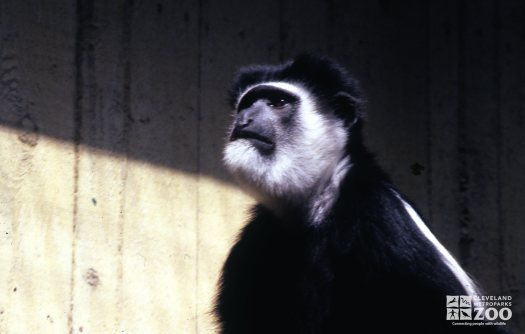 Colobus Monkey Looking Up