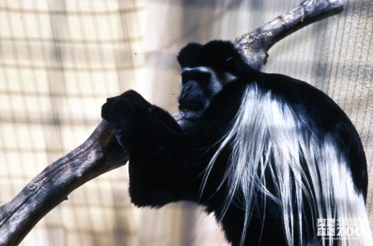 Colobus Monkey Holding The Branch
