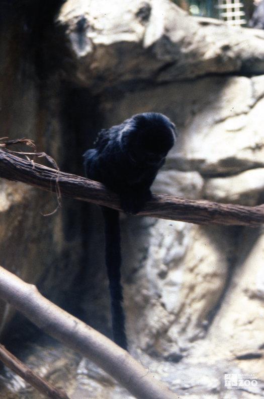 Monkey, Goeldi's  Sitting On Branch