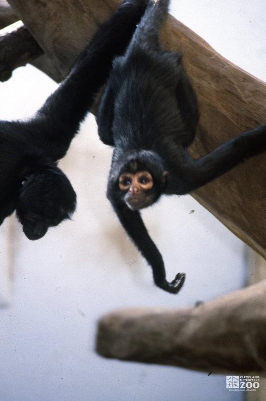 Robust Black Spider Monkeys Hanging Out