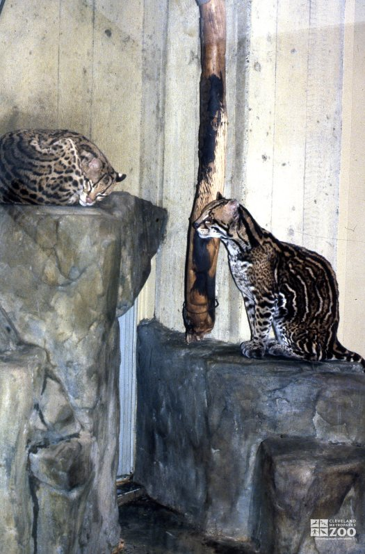 Ocelots Perched On Rocks