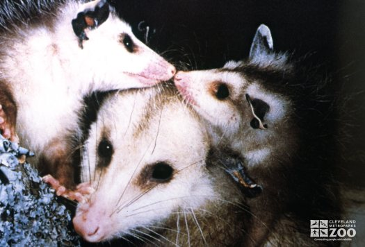 Virginia Opossums Getting Nose To Nose