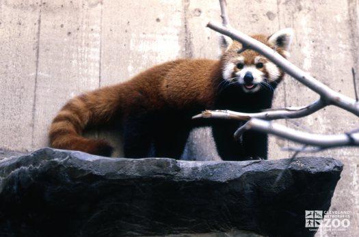 Red Panda On Rock