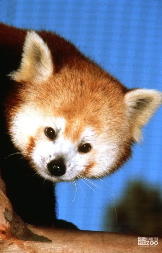 Red Panda Up Close Of Face 3