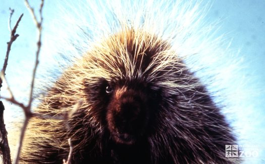North American Porcupine Up Close Of Face