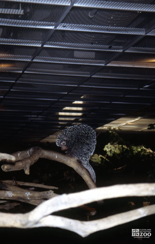 Prehensile-Tailed Porcupine Sitting On Branch