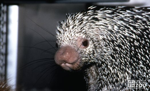 Prehensile-Tailed Porcupine Up Close Of Face