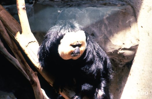 Pale-Headed Saki Up Close Of Face 2