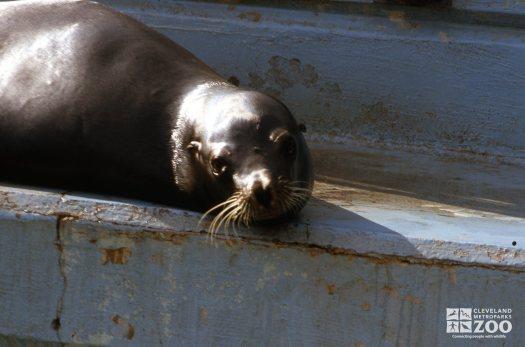 California Sea Lion Up Close Of Face