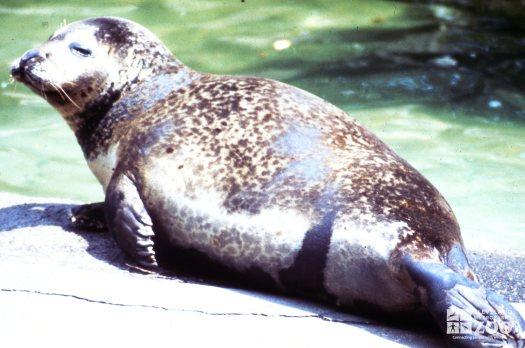 Harbor Seal Sunning On Ledge Of Pool