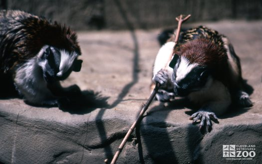Tamarin, Geoffroy's Playing With Stick