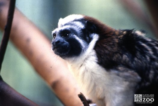 Tamarin, Geoffrey's Up Close Of Face 2