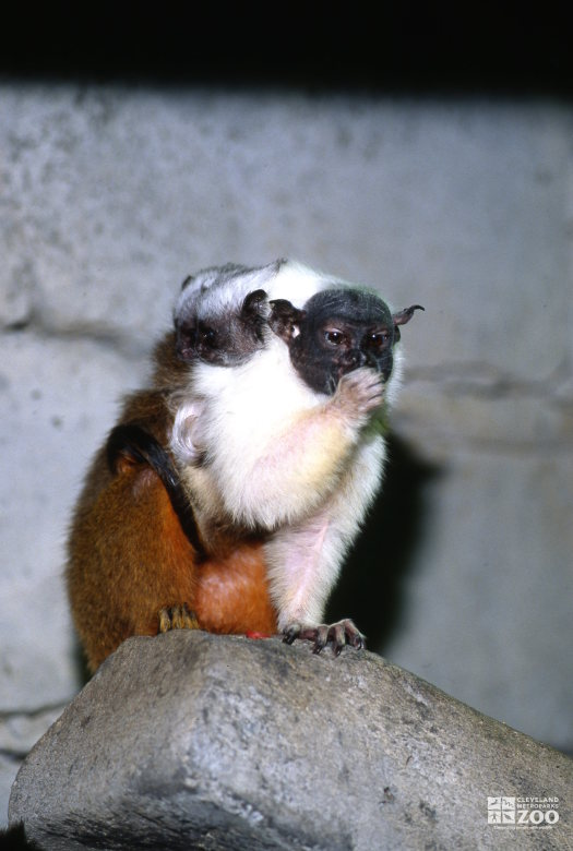 Tamarin, Pied Mom and Babies Sitting On Rock