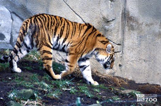 Tiger, Siberian Walking 2