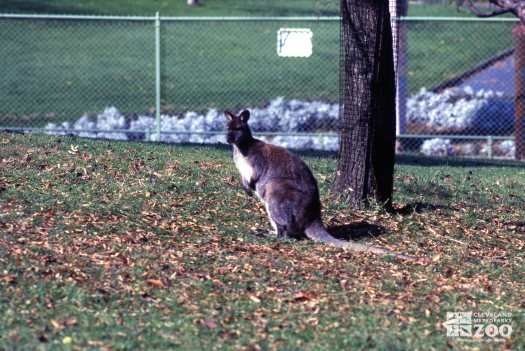Bennett's Wallaby - Side View