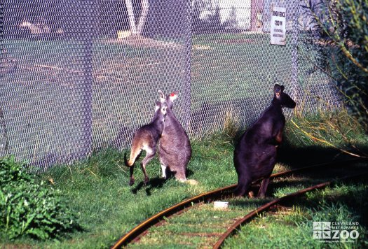 Wallaroo's From Behind