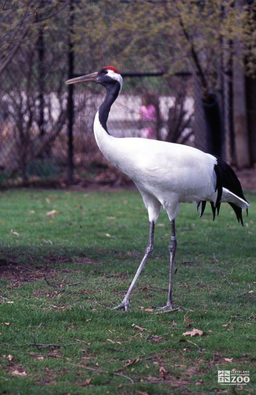 Crane, Japanese Red-Crowned Side View