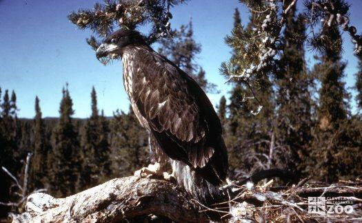 Eagle, Bald Sitting On Log