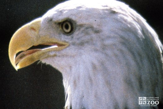 Eagle, Bald Up Close Of Head From The Side 2
