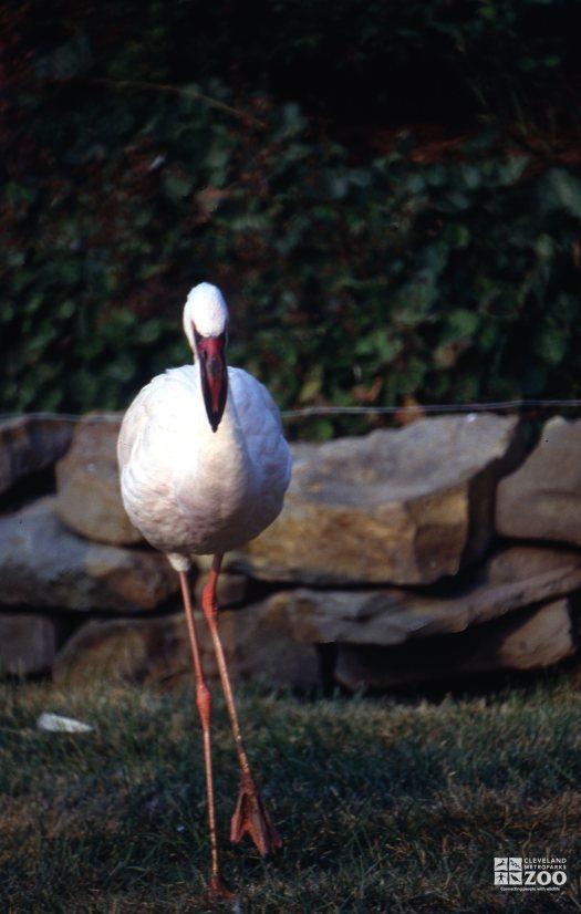 Flamingo, Lesser Walking Forward