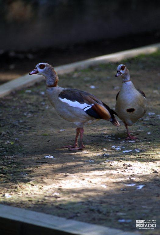 Goose, Egyptian A Pair
