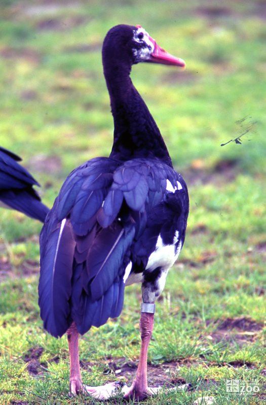 Goose, Spur-Winged Back View